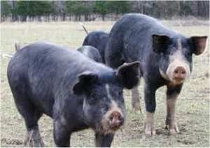 Our Hogs
